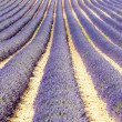 champ de lavande, plateau de valensole, provence, france — Photo