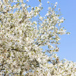 Close up of blooming tree — Stock Photo