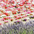 Flower field and lavenders, Provence, France - Stock Photo