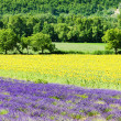 champs de lavande et de tournesols, provence, france — Photo