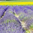 Lavender and sunflower fields, Provence, France — Foto de Stock