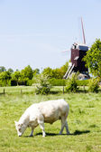 Windmill of Boeschepe, Nord-Pas-de-Calais, France — Stock Photo