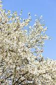 Gros plan d'arbre fleurissant — Photo