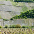 Vineyars near Polich, Rhineland-Palatinate, Germany — Stock Photo