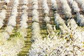 Huerta florecen en primavera, República Checa — Foto de Stock