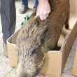Caught wild boar - Stock Photo