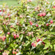 Stock Photo: Raspberry bush raspberries