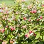Raspberry bush raspberries — Stock Photo