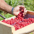 Stock Photo: Harvest of raspberries