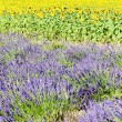 Lavender and sunflower fields, Provence, France — Stock Photo #9970947