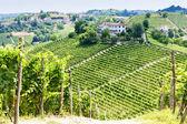Vineyar near Tana, Asti Region, Piedmont, Italy — Stock Photo