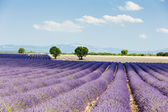 Lavender field, Plateau de Valensole, Provence, France — Stock Photo