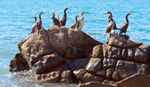 Cormorants on stone — Stock fotografie