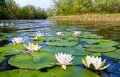 Water lilys on pond — Stock Photo