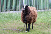 Sheep on pasture — Stock Photo