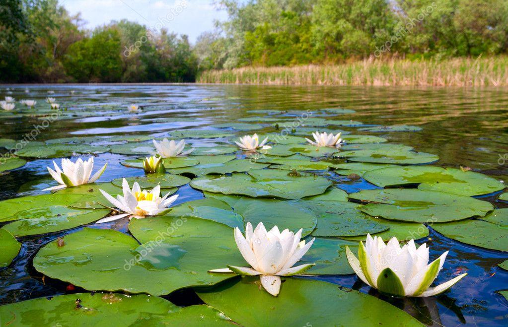 Ninfeas en el estanque de agua foto de stock pklimenko for Estanque de agua