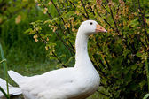 Goose on farm — Stock Photo