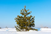 Pine on winter field — 图库照片