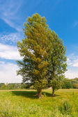 Tree on meadow — Foto de Stock