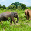 Two wild elephants - Stock Photo
