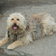 Stock Photo: Shaggy dog lying