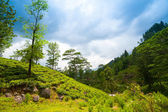 Mountain landscape with tea plantations — Stock Photo