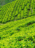 Thee plantage landschap — Stockfoto