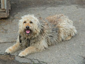 Shaggy dog lying — Stock Photo