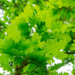 Oak leaves — Stock Photo #10648963