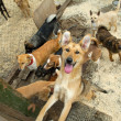 Stock Photo: A lot of stray dogs