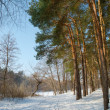 Pine forest in winter time — Stock fotografie