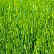 Agriculture background - green fresh grain — Stock Photo #9776311