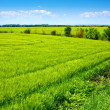 Field of green fresh grain and beautiful blue sky — Stock Photo