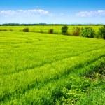 Field of green fresh grain and beautiful blue sky — Stock Photo