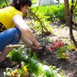 Gardening - one woman cultivating flowers - Stock Photo