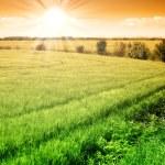Field of green fresh grain and sunny sky — Stock Photo