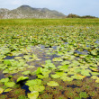 Lily leaves on Skadar Lake, Montenegro — Stock Photo