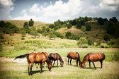 Cavalos na terra rural verde — Fotografia Stock