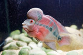 Flower horn fish — Stock Photo