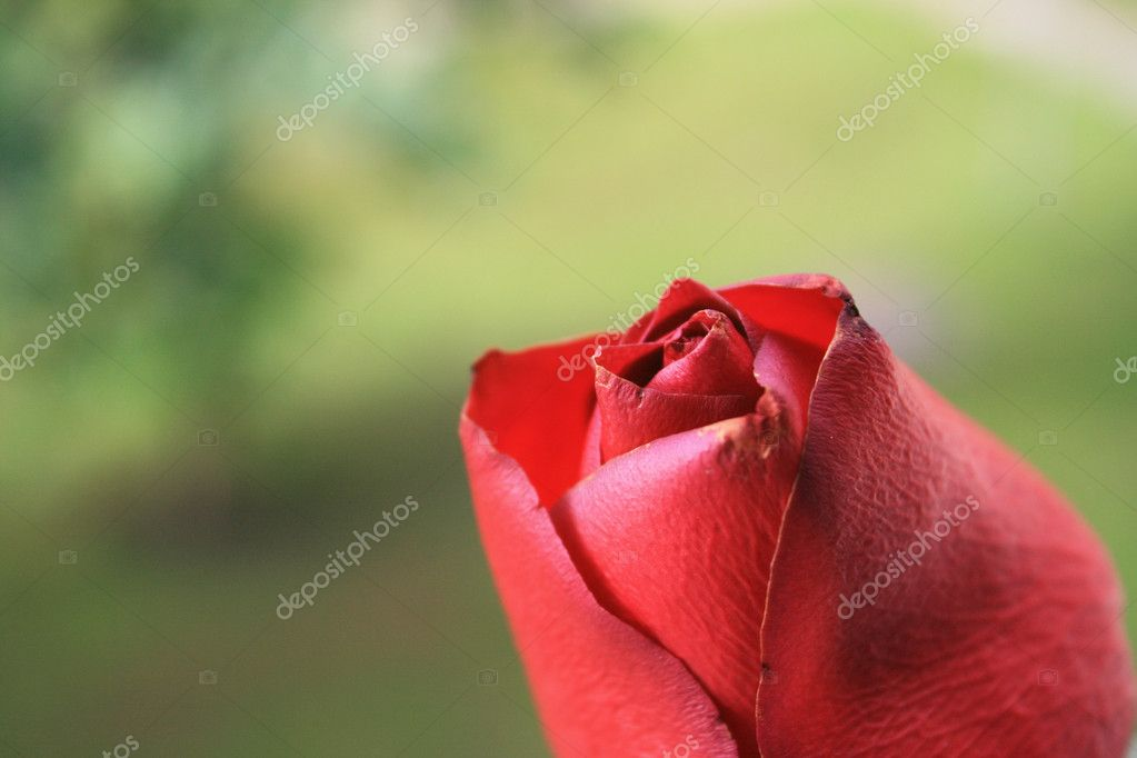 Close up of a red rose. — Foto Stock #8269081