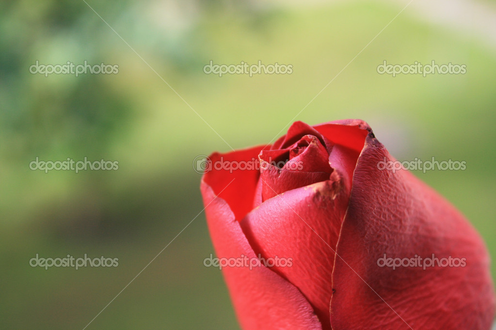 Close up of a red rose.    #8269081