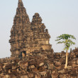 Papaya tree at Hindu temple Prambanan - Stock Photo
