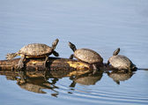 Box Turtles — Stock Photo