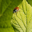 Beetle on the gree leaf. — Stock Photo