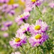 Stock Photo: Aster flowers at sunny day.