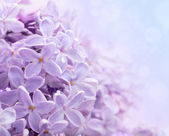 Just blooming lilac flowers. Abstract background. Macro photo. — Stock Photo