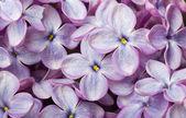 Beautiful spring lilac flowers. Macro photo. — Stock Photo