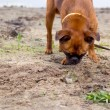 Petit brabancon dog on walk sniffing the ground — Stock Photo