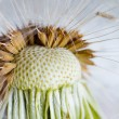 The Dandelion. Macro photo of seeds over light background. — Stock Photo