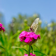 The white butterfly on a purple flower over grass and sky background — Stock Photo